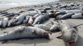Bu balıklar neden öldü merak ediyor musunuz?