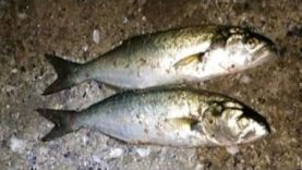 Akşam Suyu At Çek Lüfer Sarıkanat Balık Avı 2019