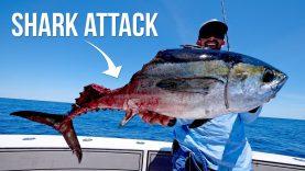 Köpek balıklarının ava saldırısı