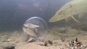 Şişedeki balıklara turna balığının tepkisi!
